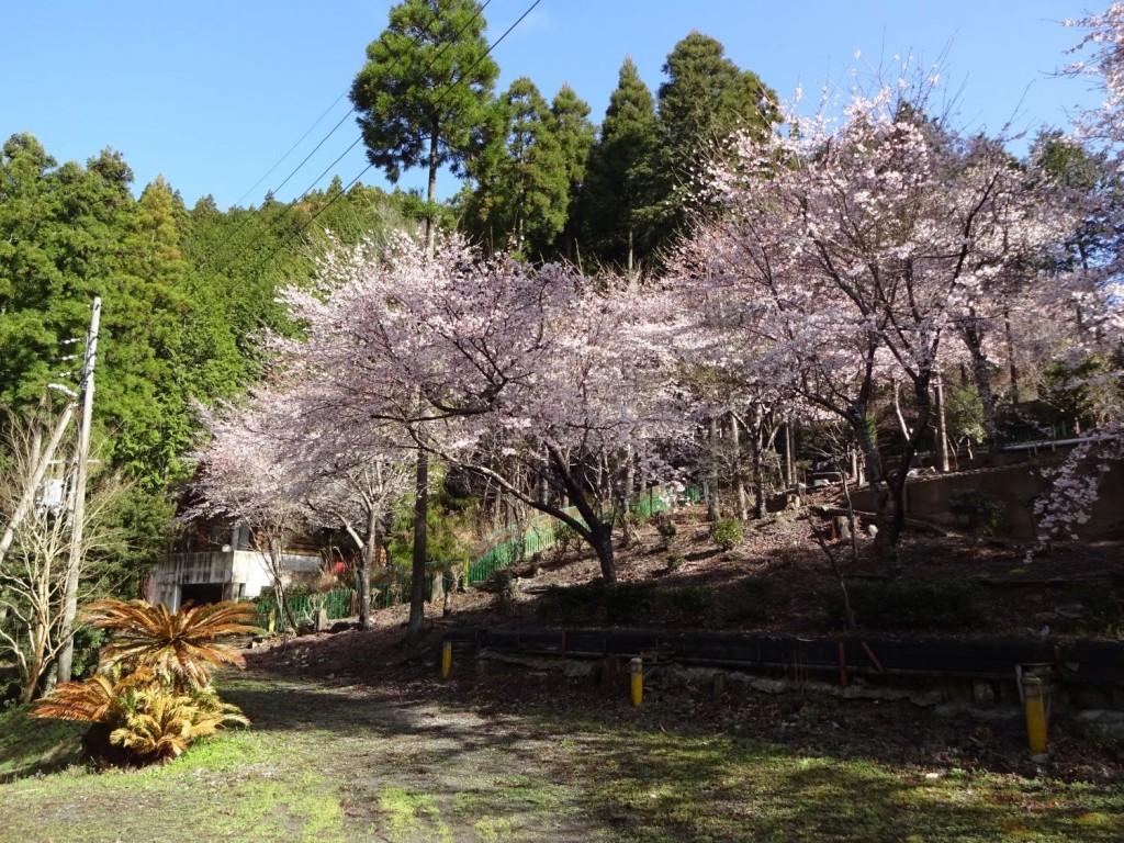 桜の郷20160402 (2)