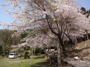 桜の郷20170413